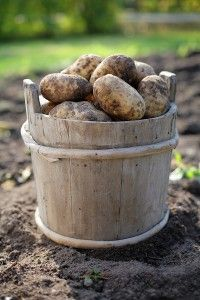 Great information about storing veggies over winter.  Last year, our potatoes lasted until Feb!