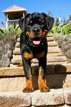 Beautiful Rottweiler #rottweiler #pets http://www.nojigoji.com.au/ Name:diamond 6 mouths old