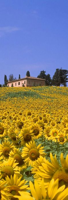 Sunflowers in Tuscany , Italy Siena Val D'orcia
