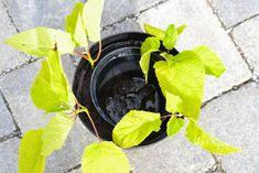 Den Lykkelige Hagen : Stiklingsformering av busker - syrinhortensia Annabelle Playhouse Outdoor, Play Houses, Garden, Garten, Lawn And Garden, Gardens, Dollhouses, Gardening, Outdoor
