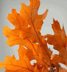 "Natural Preserved Fall Leaves 24"" Branches 4-6 branches/ bundle Orange Black Oak"