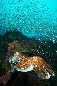 Pharaoh cuttlefish (Sepia pharaonis) at Richelieu Rock, Surin Islands, Thailand. The two males were fighting each other while the female was laying eggs Underwater Creatures, Underwater Life, Ocean Creatures, Life Under The Sea, Under The Ocean, Beyond The Sea, Life Aquatic, Deep Blue Sea, Beautiful Ocean