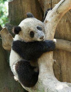 Someone needs a bath! Panda cub Xiao Liwu at the San Diego Zoo.