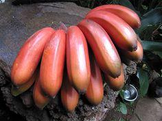 Plátano, o banano Rojo
