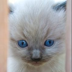 Ragdoll kittens are too cute!!
