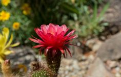 Red Desert Torch Flower Photographed by Michael P. Moriarty