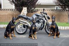 Things we all adore about the Powerful Doberman Pinschers Puppies I Love Dogs, Puppy Love, Big Dogs, Doberman Love, Kinds Of Dogs, Doberman Pinscher, Doge, Mans Best Friend, Best Funny Pictures
