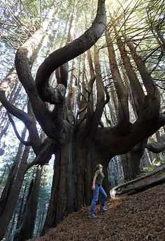 Mendocino County coast, is an 11-acre grove of ancient redwood trees with twisted trunks and branches that shoot out wildly in all directions.   The contorted trees, most of which are 500 years old, survived only because their bent wood could not be turned into lumber, and they are a biological gold mine to conservationists.  The grove known as the Enchanted Forest, is one of the primary reasons San Francisco's Save the Redwoods League purchased the spectacular 957-acre piece of coastline.