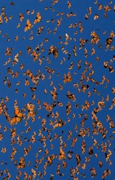 The annual monarch butterfly migration spans more than 4,000 miles and occasionally crosses the Pacific Ocean.