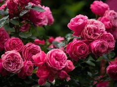 "The rose ""leonardo da vinci"" by rainer ralph / Rosas David Austin, Beautiful Rose Flowers, Cabbage Roses, Climbing Roses, Garden Care, English Roses, Nature Images, Flower Prints, Garden Design"