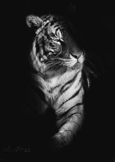 watch out by aLe Gomez / Tiger Wallpaper, Black Phone Wallpaper, Black And White Wallpaper, Animal Wallpaper, Beautiful Creatures, Animals Beautiful, Cute Animals, Animals Black And White, Black And White Pictures