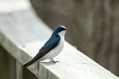 Tree Swallows are likely to use the same box that you put out for bluebirds.  Read more: http://www.birdsandblooms.com/blog/common-backyard-cavity-nesters/#ixzz3XVl8ax6z