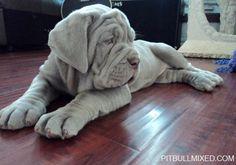 adorable #Neapolitan #Mastiff puppy