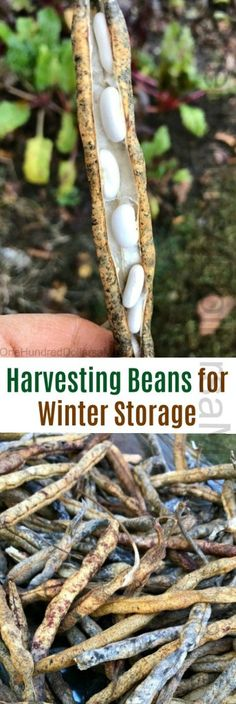 Harvesting Beans for Winter Storage - One Hundred Dollars a Month Bean Pods, Wicked Good, Smart Garden, New England Style, Dried Beans, Bean Recipes, Seeds, Kitchen Gardening, Gardening Tips