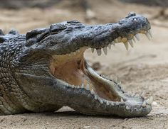 Saltwater crocodile by Official San Diego Zoo, via Flickr