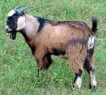 201 Best Goats images in 2012 | Goats, Baby goats, Goat farming