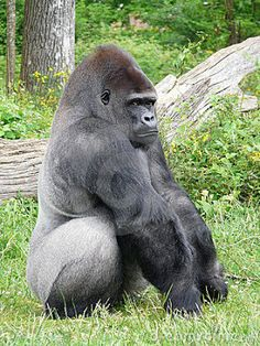 The Silver Back Gorilla / The Silver Back Gorilla is moreover pointed to as the mountain gorilla. Its exploratory name is Gorilla beringei, consistent with the African Wildlife Foundation. This species of gorilla was not even known to exist until 1902. Roughly 650 silver back gorillas exist in the globe.