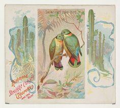 Swintern's Love-bird, from Birds of the Tropics series (N38) for Allen & Ginter Cigarettes, 1889. The Metropolitan Museum of Art, New York. The Jefferson R. Burdick Collection, Gift of Jefferson R. Burdick (63.350.202.38.41)