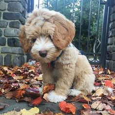 From @mygingerdoodle: The most loved photo of Ginger still one of my favorites too! Repost this pic to show Ginger more and bring smiles to others who see it #cutepetclub [source: http://ift.tt/2ogGmEM ]