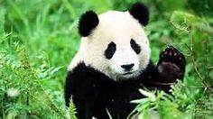 chengdu panda breeding and research center - Yahoo Image Search Results