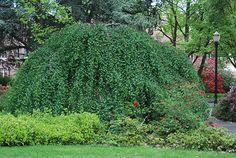 Betula pendula 'Youngi' Young's Ornamental weeping Birch- great little specimen tree!