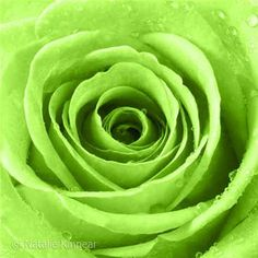 Lime Green Roses - Bing Images