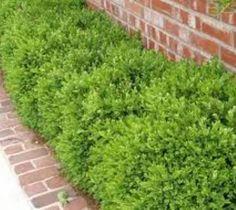 Wintergreen Korean Boxwood ( Buxus )