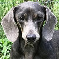 Houston Tx Dachshund Meet Grazia Golden Gate A Pet For Adoption Dachshund Rescue Dachshund Adoption Dachshund