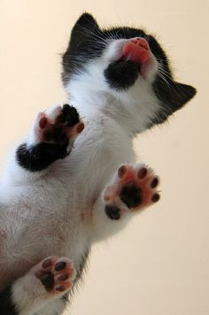 I want a glass table and a kitten so I can look at those little paws like this all day.