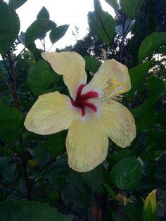 Hibiscus Robert picture's