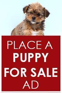 Miniature Schnauzer Puppies: Lancaster Puppies has miniature schnauzer puppies for sale. Find your miniature schnauzer for sale here and fall in love today. Cavapoo Dogs, Mini Goldendoodle Puppies, Goldendoodle Puppy For Sale, Pomsky Puppies, Bulldog Puppies For Sale, Rottweiler Puppies, Teacup Puppies, Yorkie Puppy, Dachshund Puppies