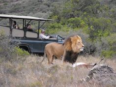 Feel majestic while you drive beside the pride of the jungle in the Amakhala Safari Lodge - Amakhala Game Reserve - Eastern Cape, South Africa! Kruger National Park, National Parks, South Africa Holidays, New Safari, Safari Holidays, Le Cap, Male Lion, Exploration, Game Reserve