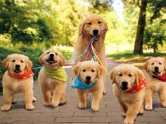 golden retriever puppies playing with mom - golden retriever puppies playing with mom. golden retriever puppies play with her mom. '''our adorable golden ret. Dogs Golden Retriever, Retriever Puppy, Golden Retrievers, Cute Puppies, Cute Dogs, Dogs And Puppies, Doggies, Funny Dogs, Baby Dogs