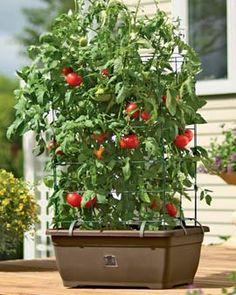 tomato success!  via Jennifer Reno