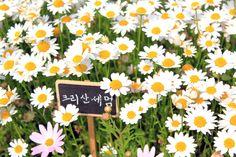"""white little flowers (written """"Chrysanthemum"""" in Korean)"""