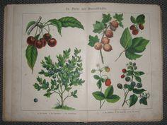 Stein- und Beerenfrüchte  Walther, E.: Bilder zum Anschauungsunterricht. Tiere und Pflanzen, Esslingen: 1891  Es ist keine kommerzielle Nutzung des Bildes erlaubt. But feel free to repin it!