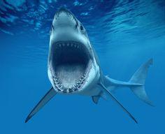 Great White Shark laughing
