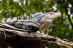 Black Spiny-Tailed Iguana! The worlds fastest lizard! also one of the coolest!