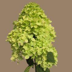 Giant Dolly Hydrangea Green Flower