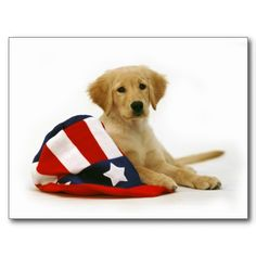 Patriotic Golden Retriever Puppy <3