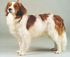 kooikerhondje...the dog with earrings :)