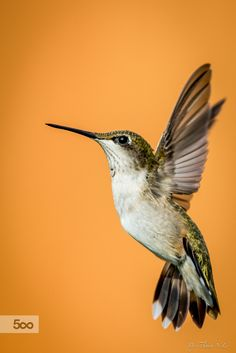hummingbird by Anthony Le on 500px