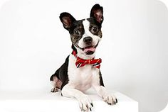 New York, NY - Boston Terrier Mix. Meet Olivier a Dog for Adoption. (Photo: Richard Phibbs) http://www.adoptapet.com/pet/7508076-new-york-new-york-boston-terrier-mix