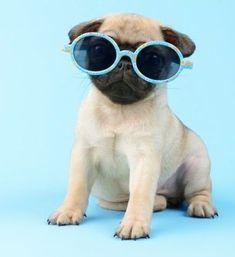 Cute Pug Puppy #Pug