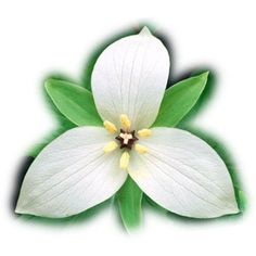 images of oragami | This origami trillium flower simulates the real one shown below: