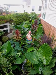 A Wisconsin Jungle - FineGardening A Red Star and Red Sensation cordylines, Australian Sword fern and elephant ears – Borneo Giant, Mojito, Black Magic. Tropical Landscaping, Tropical Garden, Front Yard Landscaping, Tropical Plants, Elephant Ear Plant, Elephant Ears, Fine Gardening, Gardening Tips, Gunnera Plant