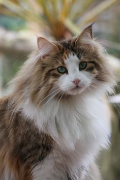 Fluffy cat breeds - My Norwegian Forest cat Boots is a twin to this beauteous vision of lovliness :) Pretty Cats, Beautiful Cats, Animals Beautiful, Cute Animals, Cute Kittens, Cats And Kittens, Ragdoll Kittens, Tabby Cats, Bengal Cats