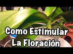 Estimula el crecimiento de varas florales en tus orquídeas - YouTube