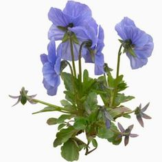 cutout flowers: blue viola  (blue flower texture)