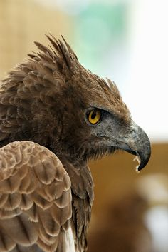 Crowned Eagle // Aigle couronné -